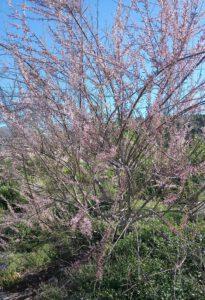 Frühlingstamariske